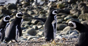 chile's modern penguins