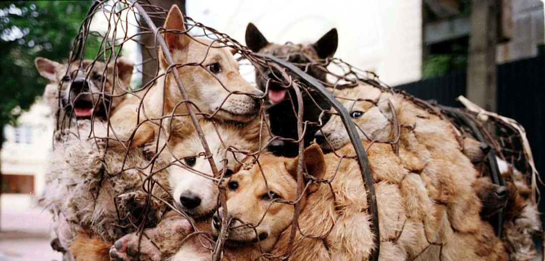 Yulin Dog Meat Festival 2020.Dog Meat Festival In China Stirs Controversy Borgen