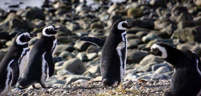 chile's modern penguins