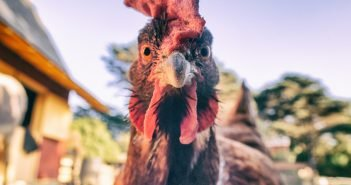 New Study Shows Chickens May Help Limit the Spread of Malaria