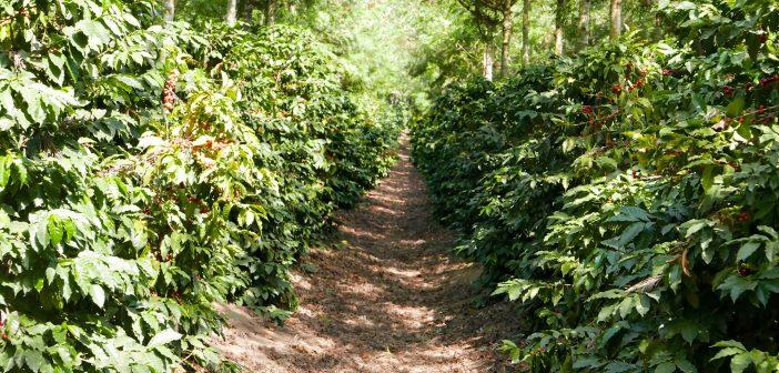 Guatemala_Coffee