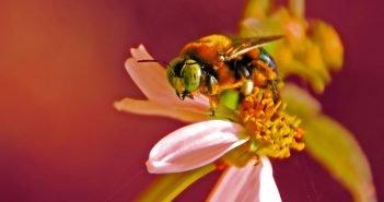 Bee Venom's Toxin Melittin