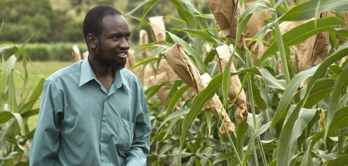 staple crop biofortification