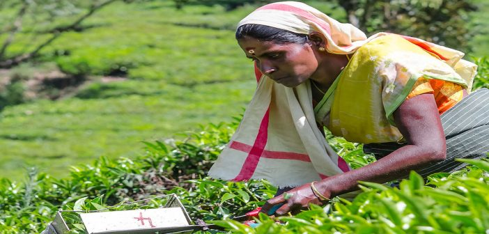 Human Rights Violations in the Indian Tea Industry