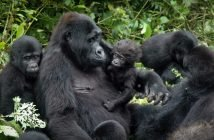 Bwindi Impenetrable National Park (BINP) in Uganda, alleviating poverty by saving gorillas