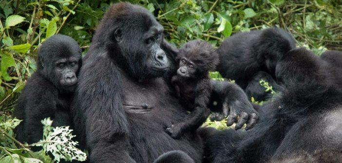 Bwindi Impenetrable National Park (BINP) in Uganda, alleviating poverty by saving gorillas